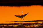 Great Egret at Sunset with Wings Spread, Parker River National Wildlife Refuge, Newburyport, Massachusetts