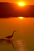 Great Egret at Sunset, Parker River National Wildlife Refuge, Newburyport, Massachusetts