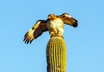 Swainson's Hawk on a Saguaro Cactus, Buteo swainsoni
