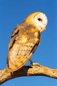 Common Barn Owl, Tyto alba