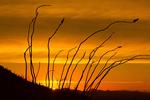 Ocotillo Sunset, Valley View Overlook Trail, Sonoran Desert, Saguaro National Park, Arizona,