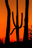 Saguaro Sunset, Kings Canyon Trail, Sonoran Desert, Saguaro National Park, Arizona
