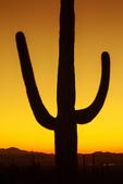 Saguaro Sunset, Valley View Overlook Trail, Sonoran Desert, Saguaro National Park, Arizona