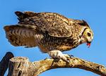 Great Horned Owl Eating, Bubo virginianus