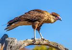 Southern Crested Caracara, Caracara plancus