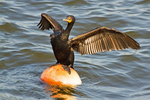 Double-Crested Cormorant Perched on Buoy Spreading Wings to Dry, Charles River, Boston, Massachusetts, Phalaccrocorax auritus