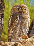 Elf Owl, Micrathene whitneyi