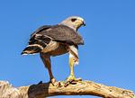Gray Hawk, Buteo nitidus