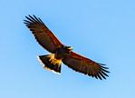 Harris's Hawk Flying, Parabuteo unicinctus