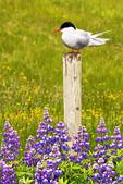 Arctic Tern and Lupine, Sterna paradisaea
