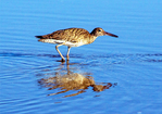 Willet Reflection, Tringa semipalmata