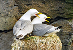 Black-legged Kittiwakes on Nest Squawking, Rissa tridactyla