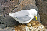 Black-legged Kittiwake on Nest with Eggs, Rissa tridactyla