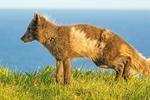 Arctic Fox, Vulpes lagopus