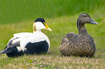 Common Eider Couple, Somateria mollissima