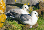 Northern Fulmar, Fulmarus glacialis