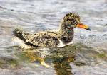 Eurasian Oystercatcher Chick Swimming, Haematopus ostralegus