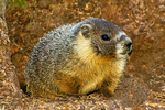 Yellow-bellied Marmot, Marmota flaviventris