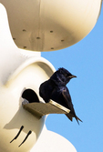 Purple Martin in Nesting Box, Progne subis