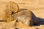 Male Northern Elephant Seal Throwing Sand, Mirounga angustirostris