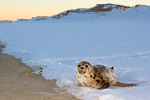 Harbor Seal in Snow at Sunset, Phoca vitulina, Parker River National Wildlife Refuge, Plum Island, Newburyport, Massachusetts