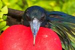 Male Great Frigatebird Displaying Gular Sac, Fregata minor