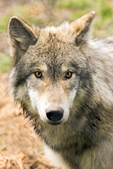 Grey Wolf, Wolf Hollow, North American Wolf Foundation, Ipswich, Massachusetts