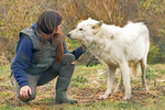 Grey Wolf and Trainer, Wolf Hollow, North American Wolf Foundation, Ipswich, Massachusetts