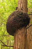 Burl on Redwood Tree, Coast Redwood Trees, Sequoia sempervirens, Muir Woods National Monument, California