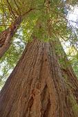 Coast Redwood Trees, Sequoia sempervirens, Muir Woods National Monument, California