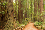 Trail Through Redwood Trees, Coast Redwood Trees, Sequoia sempervirens, Muir Woods National Monument, California
