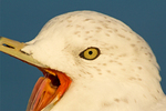 Ring-billed Gull with Mouth Open, Larus delawarensis