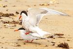 Common Terns Mating, Sterna hirundo