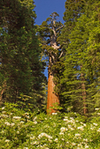 Flowers and General Grant Tree, Sequoiadendron giganteum, General Grant Grove, Kings Canyon National Park, California