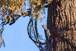 Male Pileated Woodpecker, Dryocopus pileatus