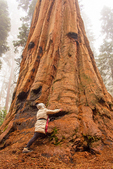Hiker and Sequoia Tree, Sequoiadendron giganteum, Hazelwood Trail, Giant Forest, Sequoia National Park, California