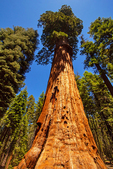 McKinley Sequoia Tree, Sequoiadendron giganteum, Congress Trail, Giant Forest, Sequoia National Park, California