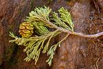 Sequoia Needles and Cone, Sequoiadendron giganteum