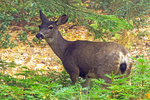 Mule Deer, Odocoileus hemionus