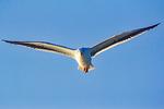Western Gull Flying, Larus occidentalis