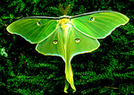 Luna Moth resting on moss
