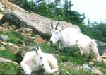 Resting Mountain Goat and Kid