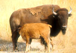 Nursing Buffalo Calf