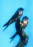 Barn Swallow Pair