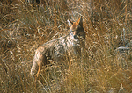 Coyote in prairie