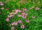 Purple Coneflower in prairie
