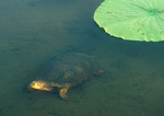 Blanding's Turtle swimming