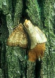 Adult Gypsy Moths laying eggs