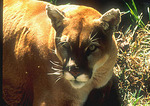 Mountain Lion (Florida Panther)