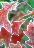 Frost on Red Oak leaves